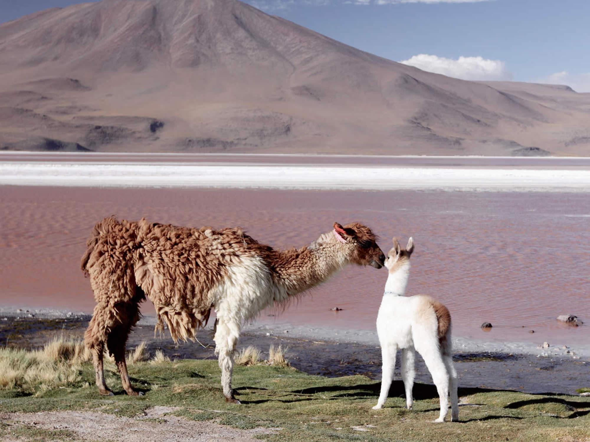 Llama family at the Red Lagoon