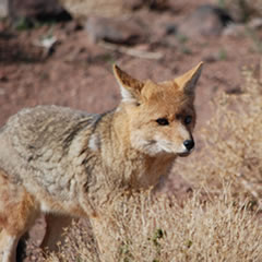 Andean fox