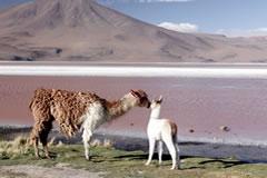 Llama family at the Red Lagoon.