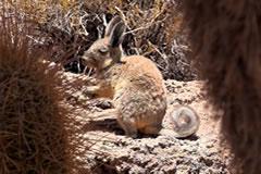 Vizcacha hide among the cacti on Isla Incahuasi.