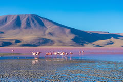 The pink colour of the flamingos is due to the large amount of algae they consume.