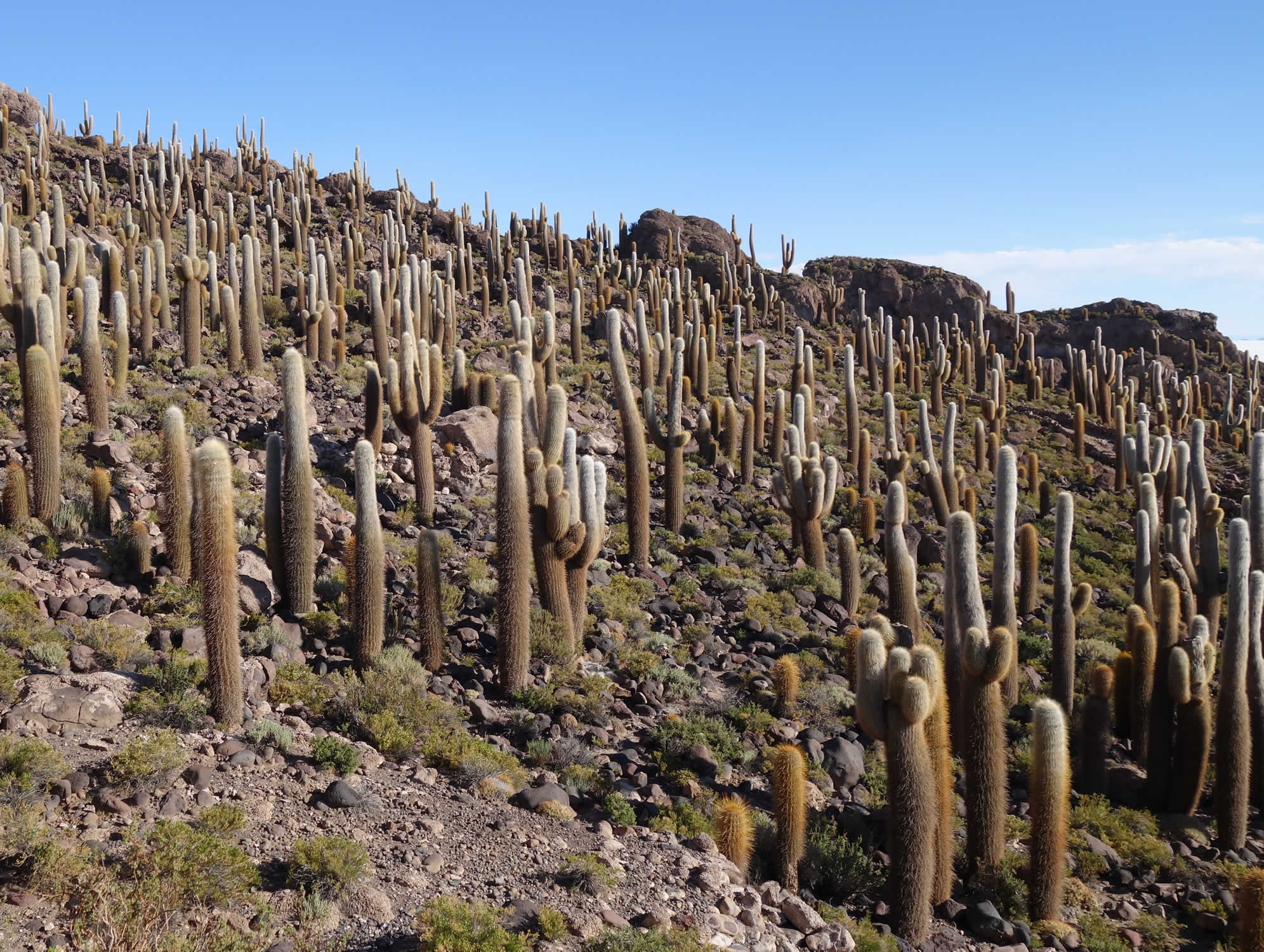 Cacti on Isla Incahuasi