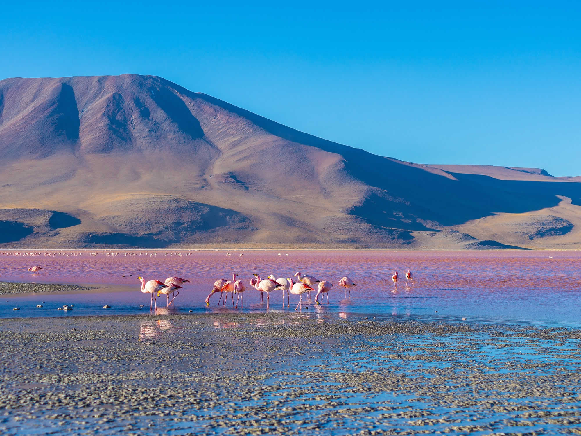 The pink colour of the flamingos is due to the large amount of algae they consume